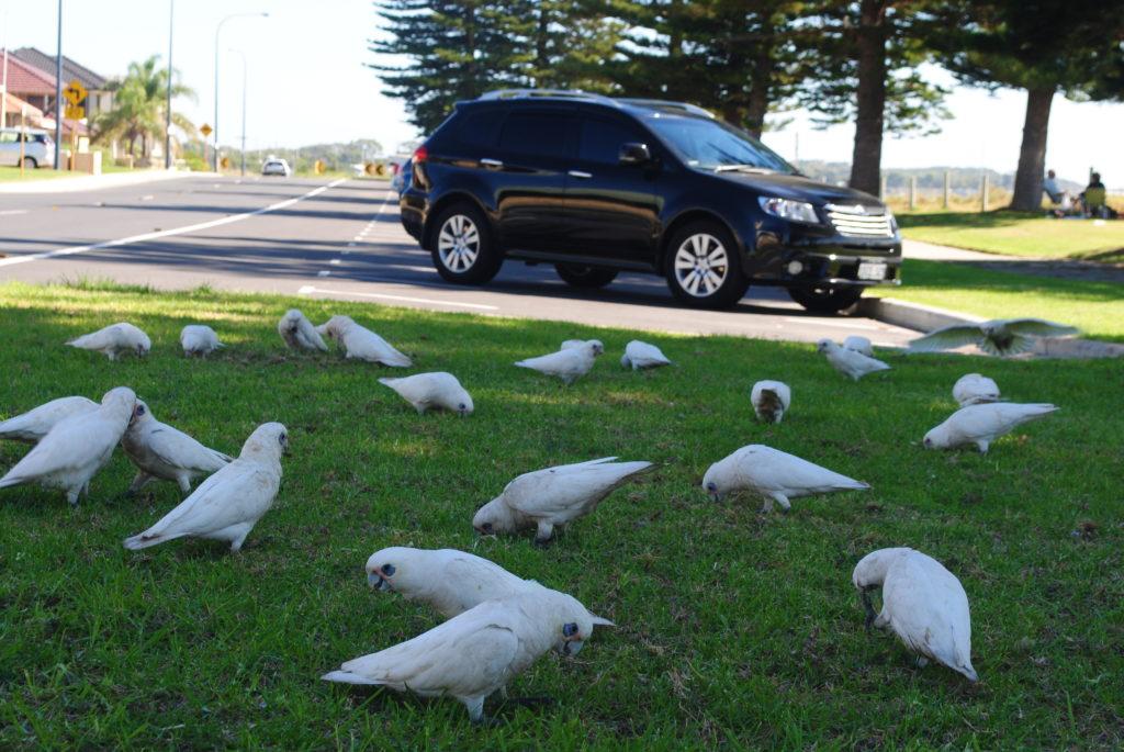 Podróż do Australii Zachodniej, papugi żerują na trawie