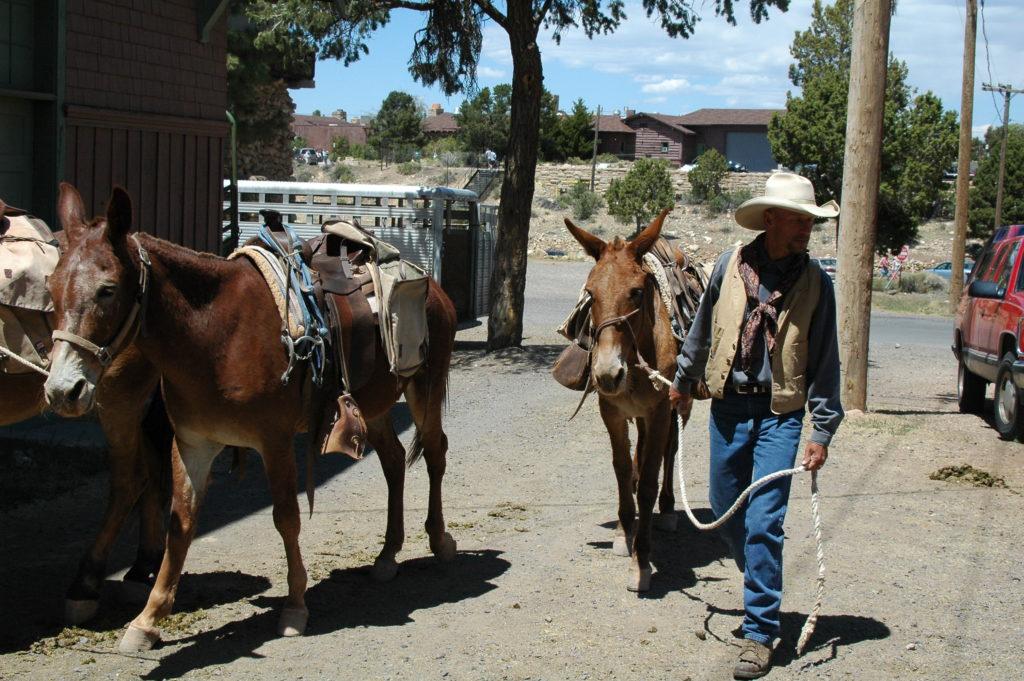 Amerykański muł, w rękach kowbojów