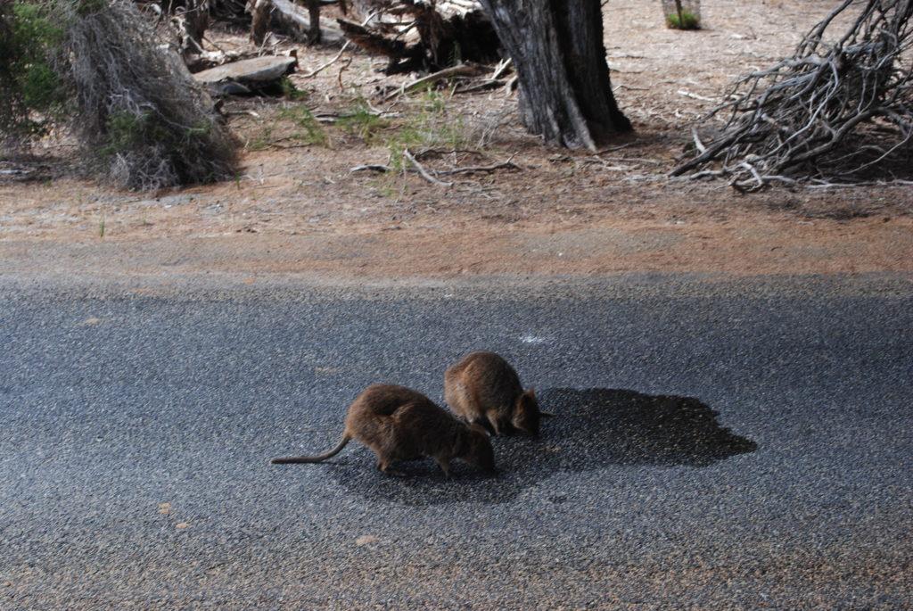 Wyspa Rottnest, kangurki znalazły plamę wody z klimatyzacji