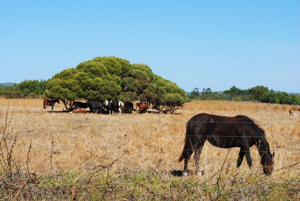 stepy australijskie, konie szukają cienia