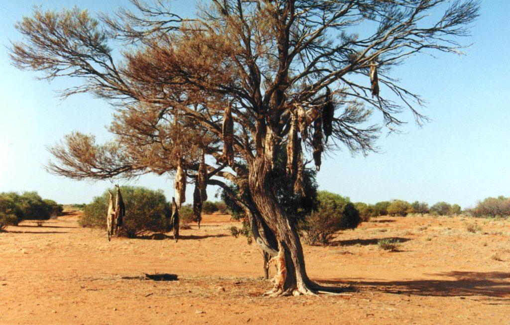 stepy australijskie, zwłoki zwierząt wywieszone na drzewie