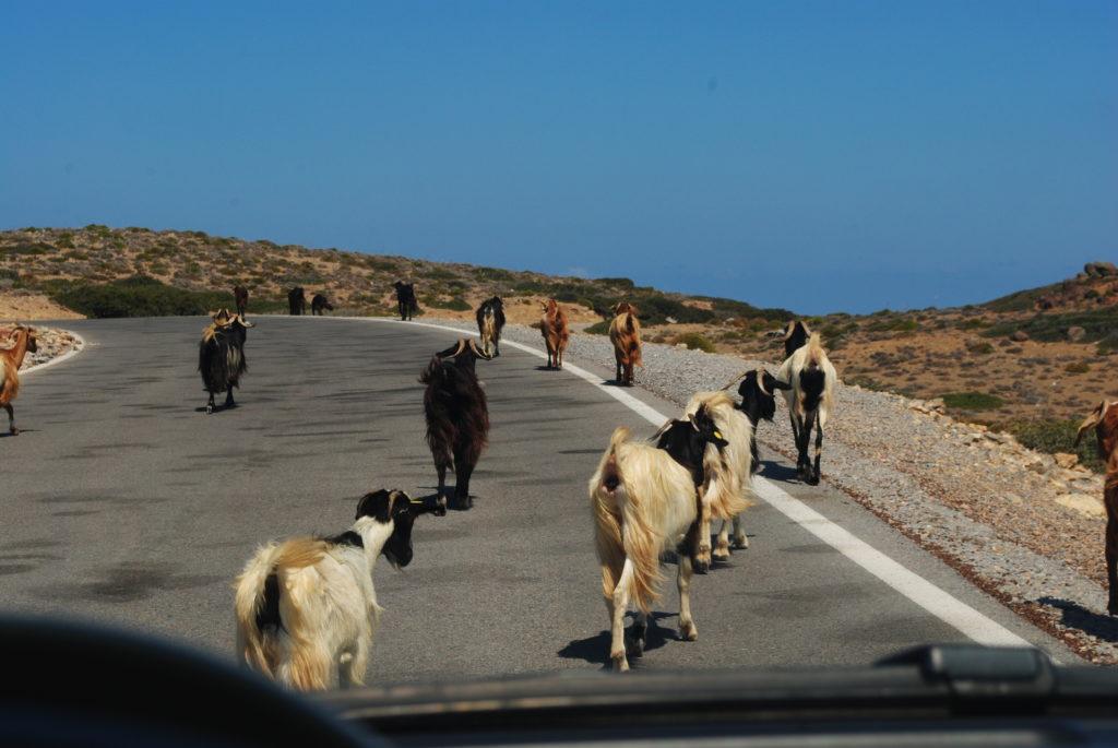 Kreta wschodnia, wszędobylskie kozy