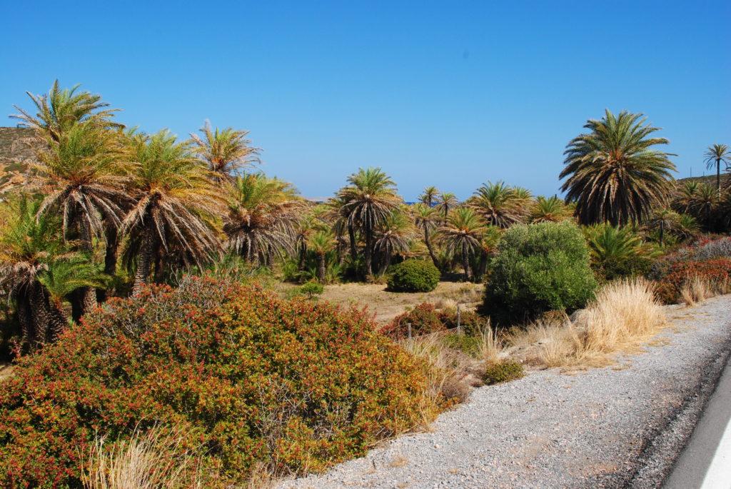 Kreta wschodnia, gaj palmowy