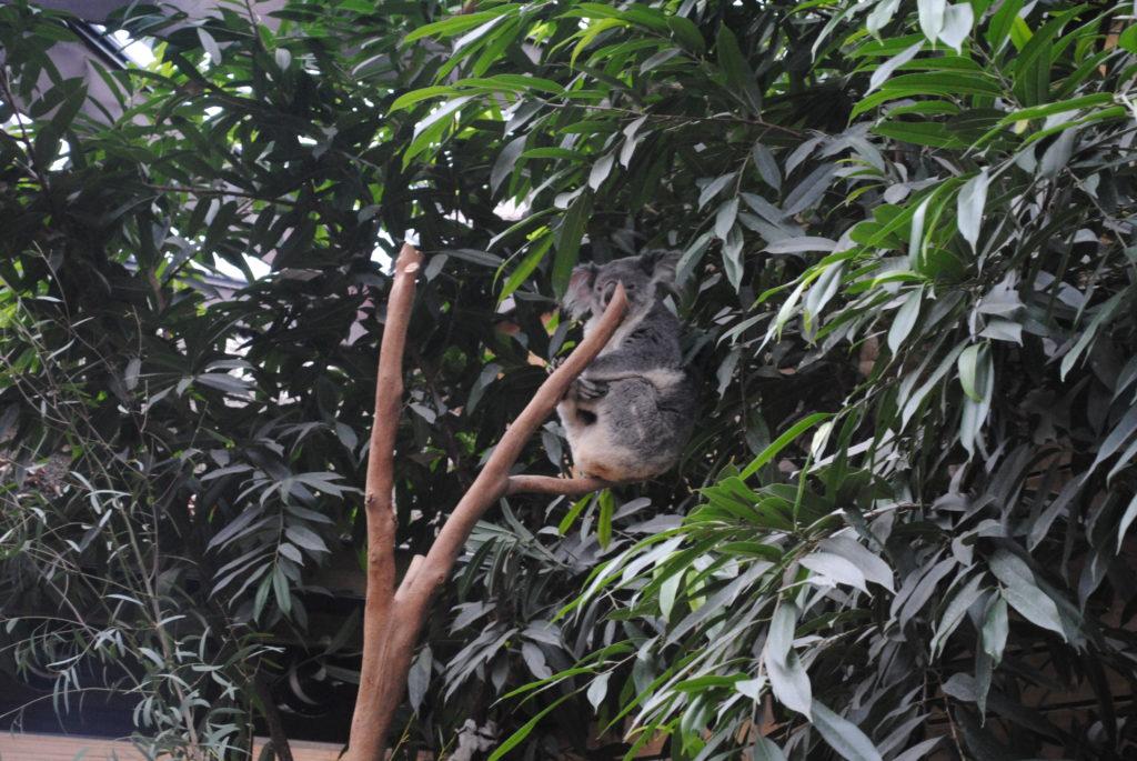 Koala w Europie