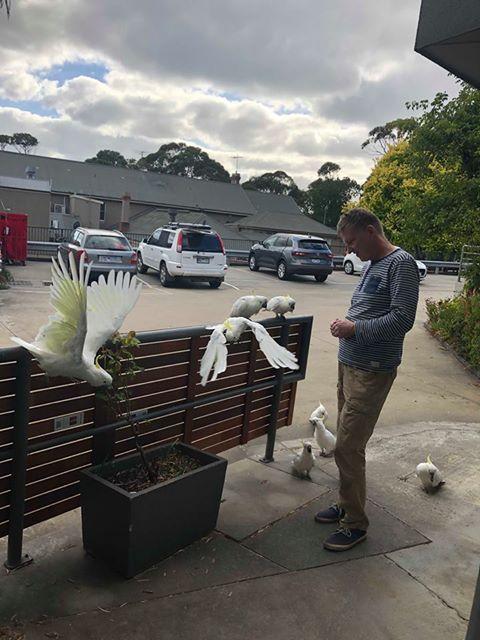 Australijska koala, głodne kakadu