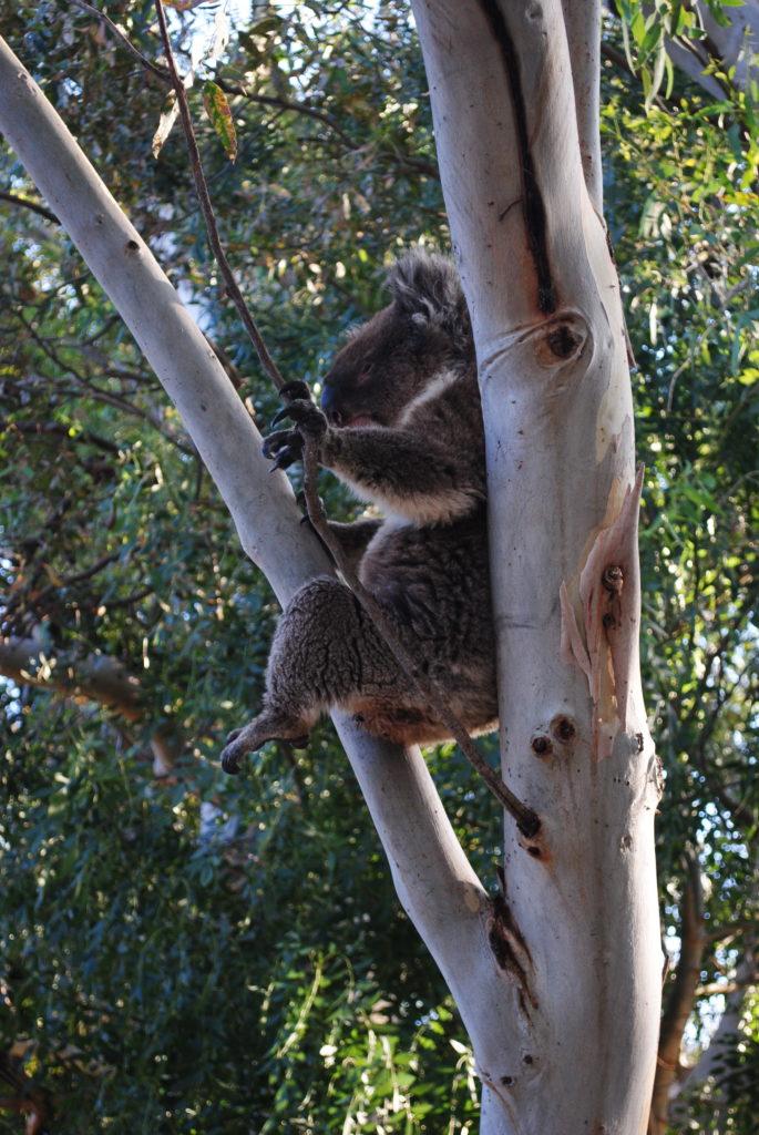 Australijska koala, nasza pierwsza koala