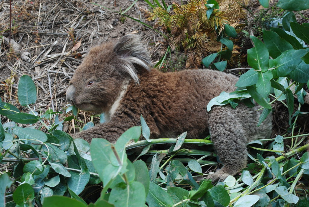 Australijska koala, prywatne koala w Kenneth River