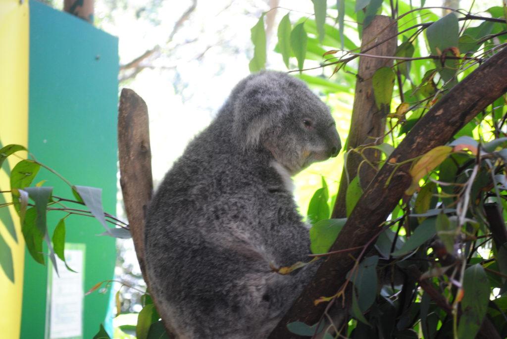 Australijska koala, a teraz mały odpoczynek
