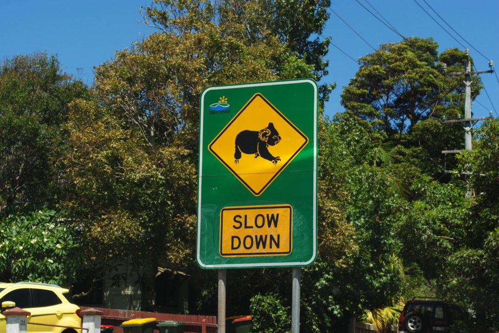 Australijska koala, nie przejedź koali