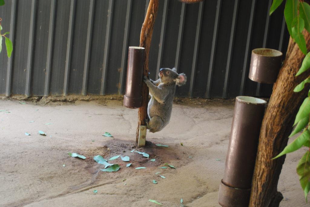 Australijska koala, idę szczać