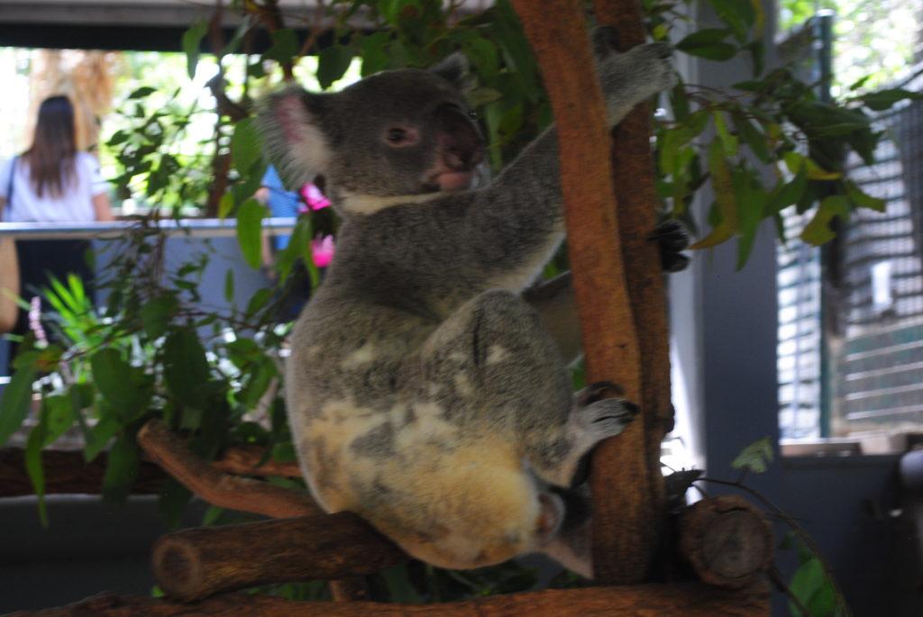 Australijska koala, siedzę sobie