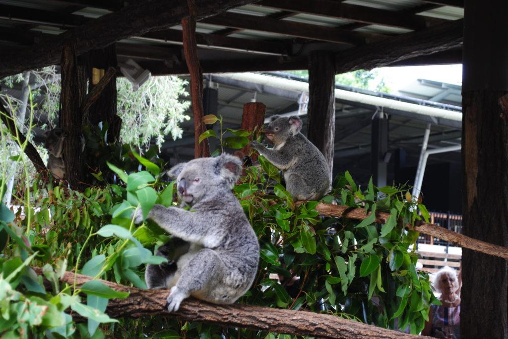 Australijska koala. mniam, mniam...