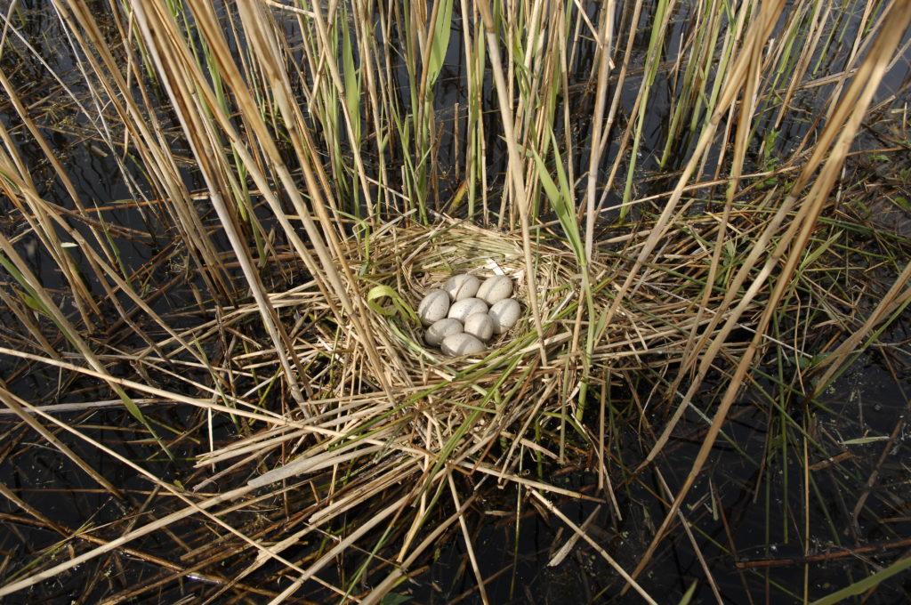 Jaja i jajka, gniazdo łyski