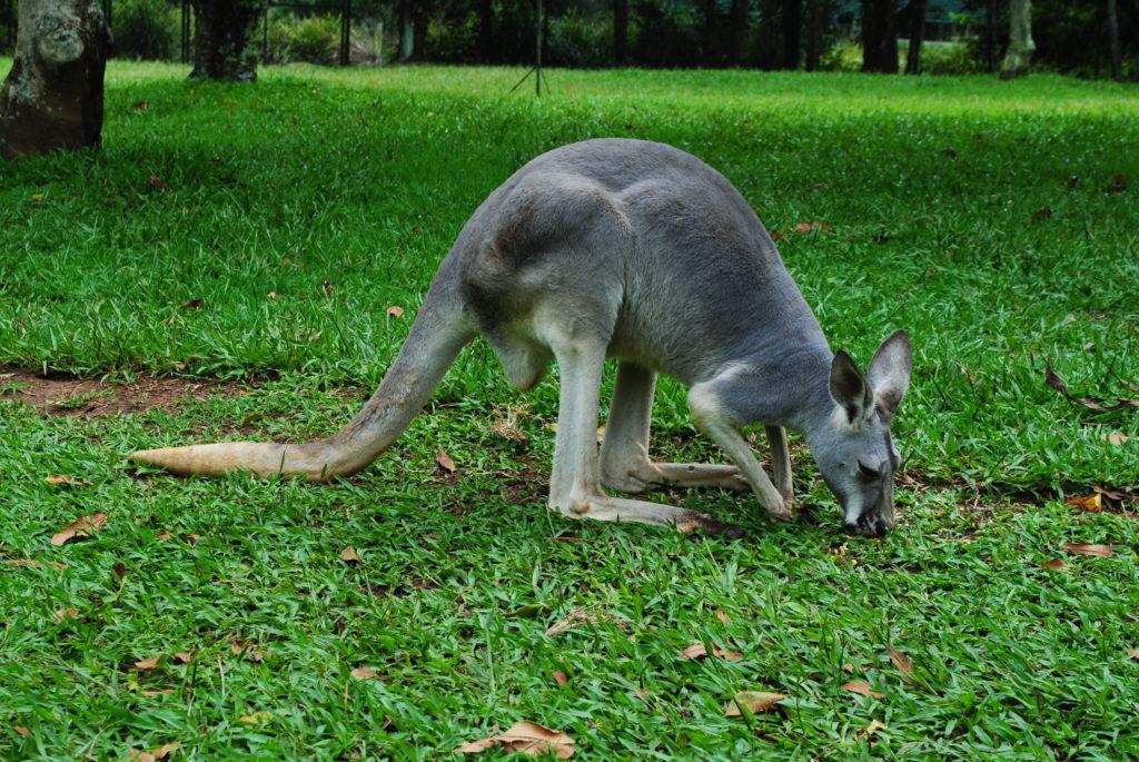 Australia Zachodnio-Południowa, wypas kangurów