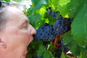 Australia Zachodnio-Południowa, winogrona są super