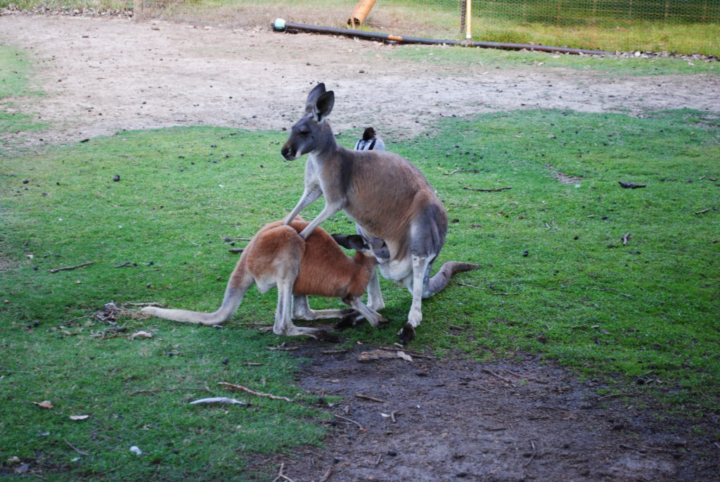 Australia Zachodnio-Południowa, karmienie kangurów