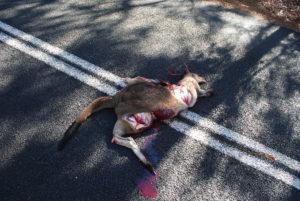 Australia Zachodnio-Południowa, slalom między martwymi kangurami