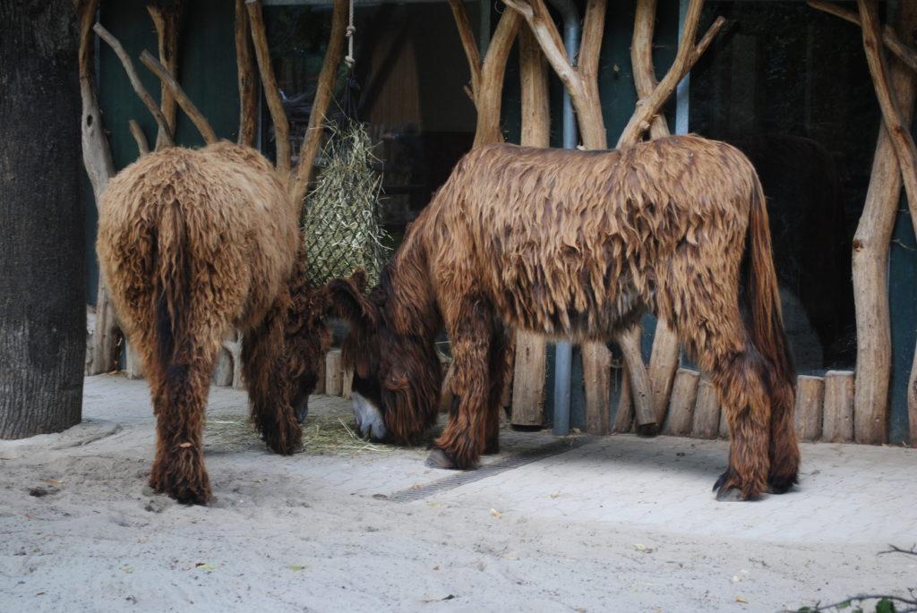 Zwiedzanie Wiednia. Francuskie osły w ZOO.