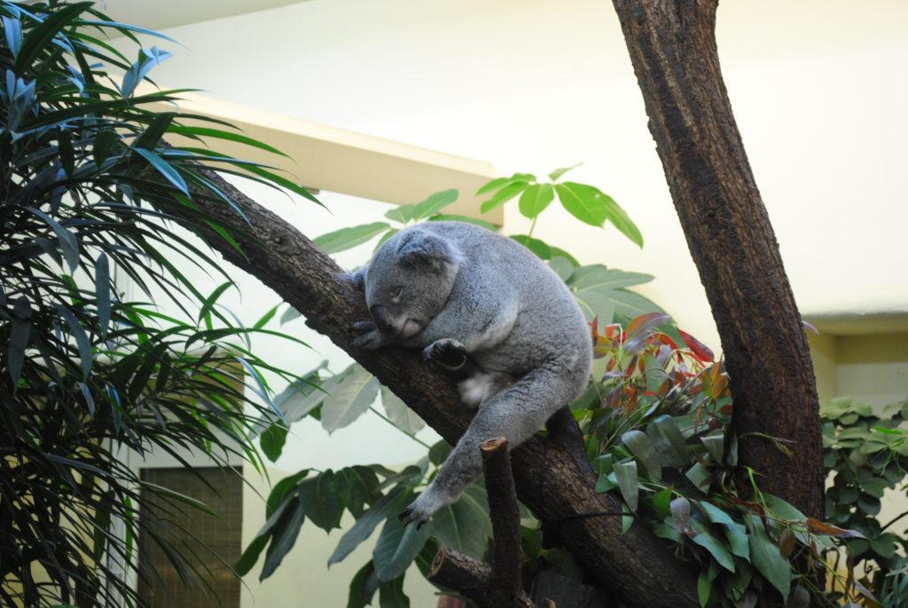 Zwiedzanie Wiednia. Koala śpi w Tiergarten.
