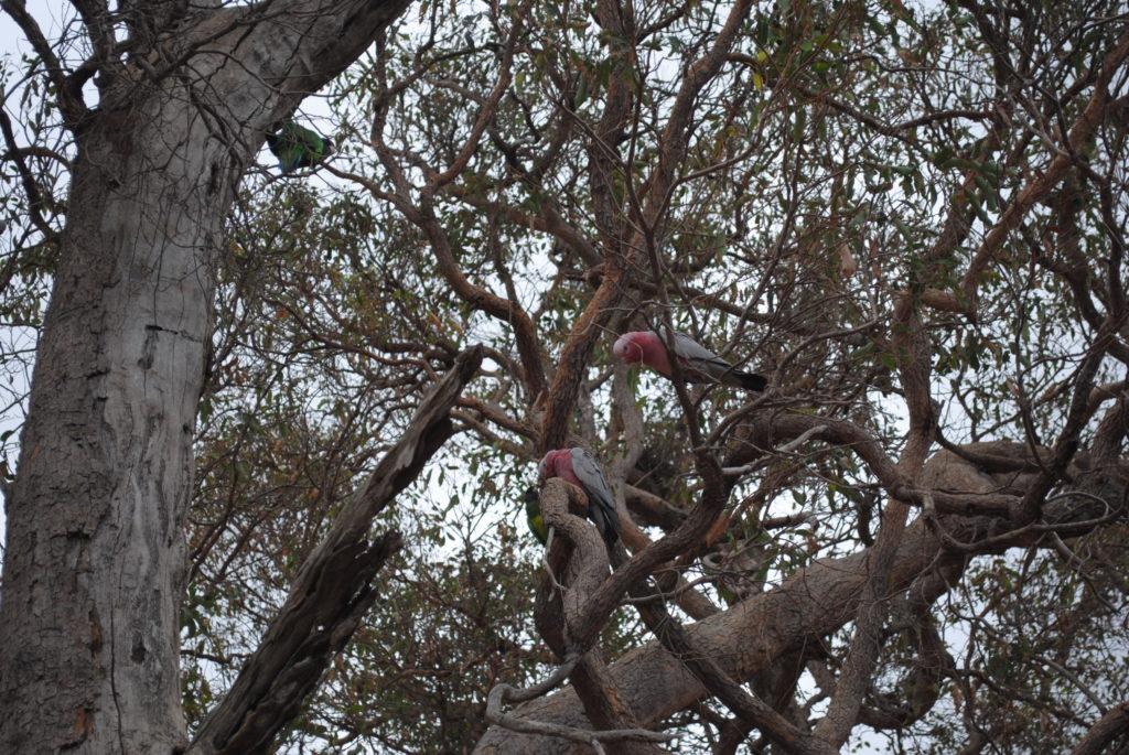Perth, Australia Zachodnia. Kakadu czerwone na drzewach.