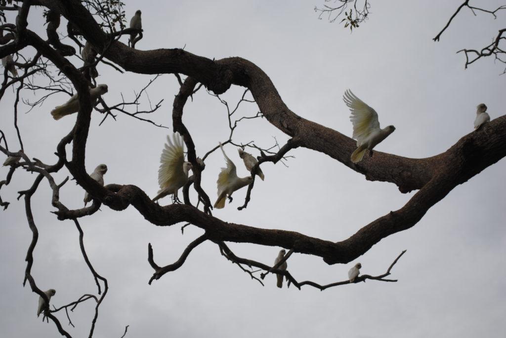 Perth, Australia Zachodnia. Kakadu białe.