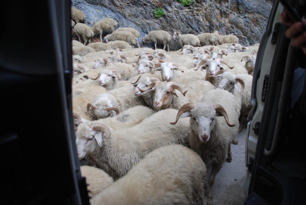 Podróż do Gruzji. Tuszeci pędzą owce.