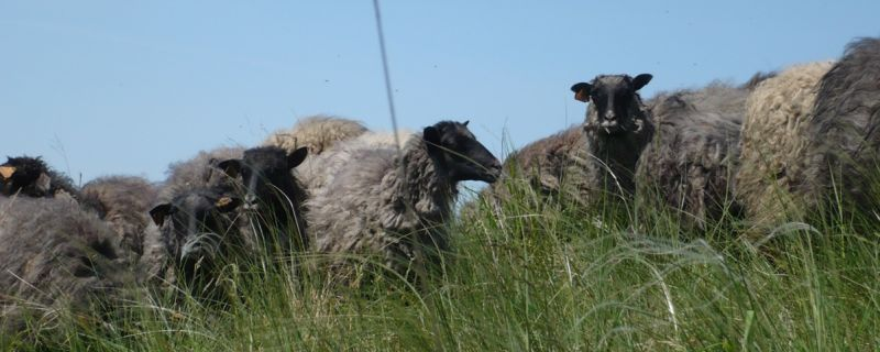 Niemcy Wschodnie. Owce na wypasie.