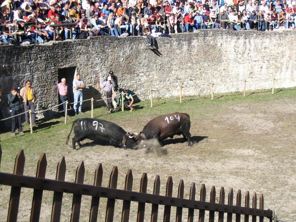 Krowy w Wallis. Rzymska arena walk.