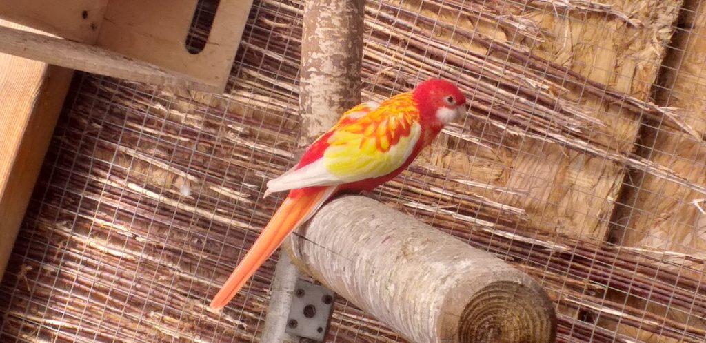 Papuga Rozella Białolica.