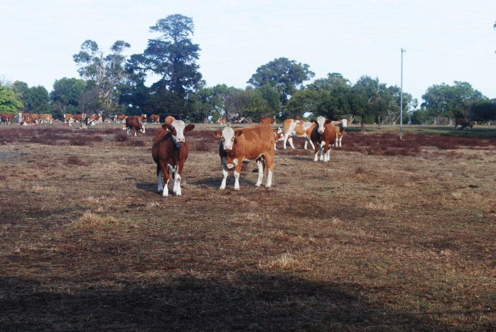 Hodowla bydła w Australii. Nie ma co oddalać się od domu.