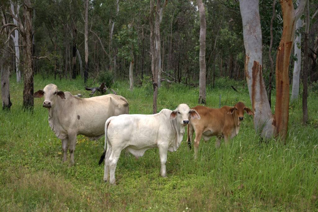 Hodowla bydła w Australii.