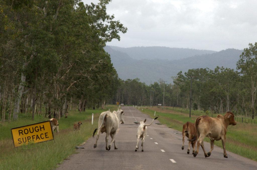Hodowla bydła w Australii. Drogi należą do krów.
