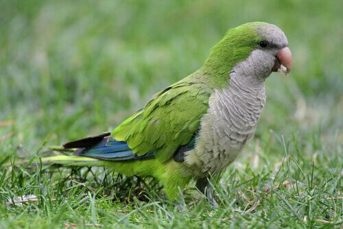 Papugi w Hiszpanii.