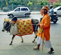 Podróż do Indii. Prowadzę sobie krowę.