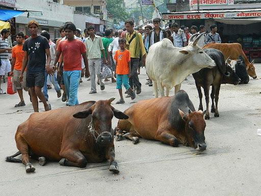 Podróż do Indii. Święte krowy mają na ulicy spokój.