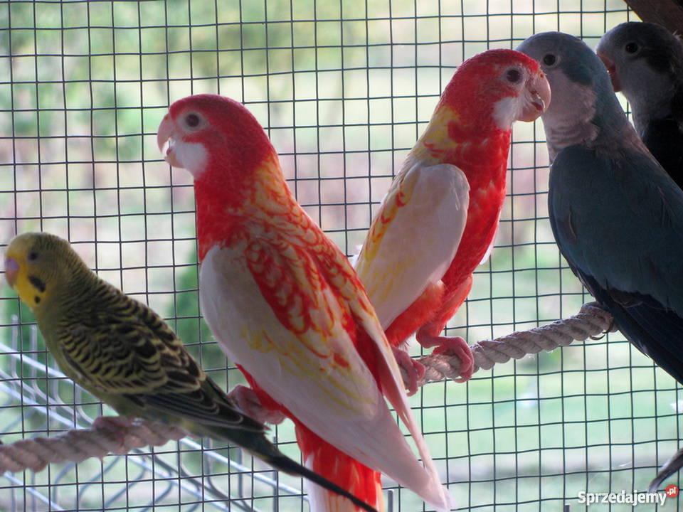 Papuga Rozella Białolica. Wersja rubino.