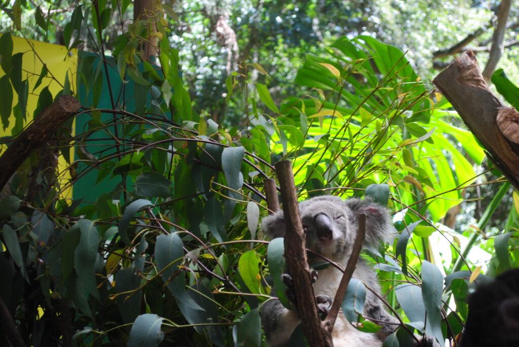 Podróż do Sydney. Koala posila się eukaliptusem.