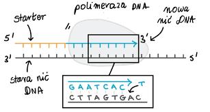 Kwas DNA. Replikacja nici DNA.
