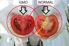 Zwierzęta GMO