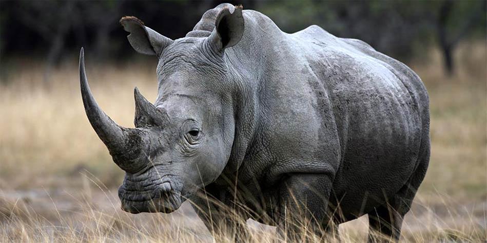Zapłodnienie nosorożców in vitro