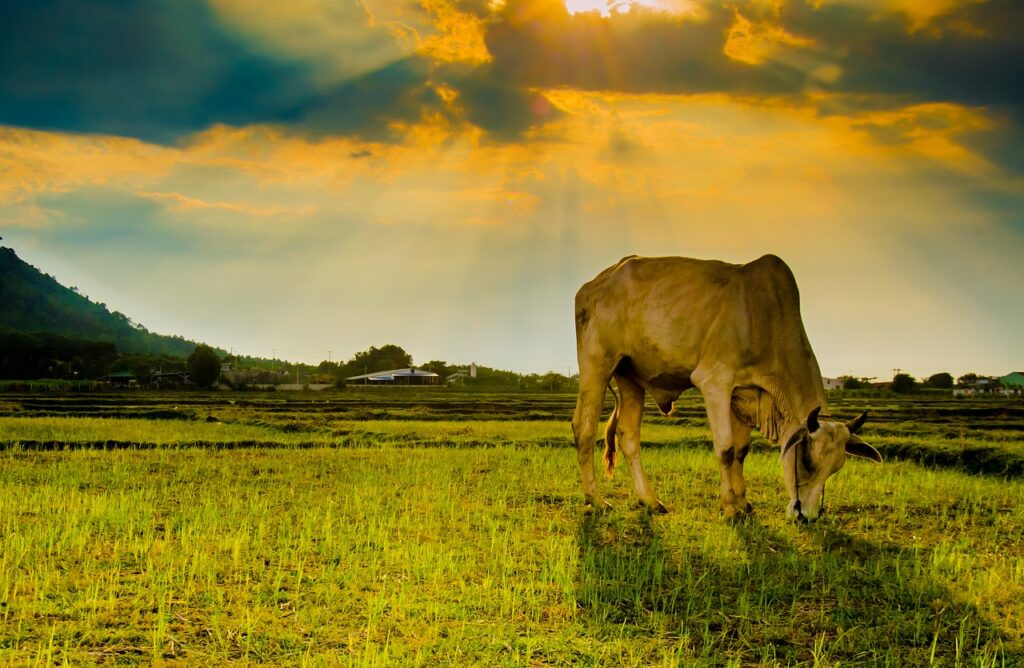 Azjatyckie krowy