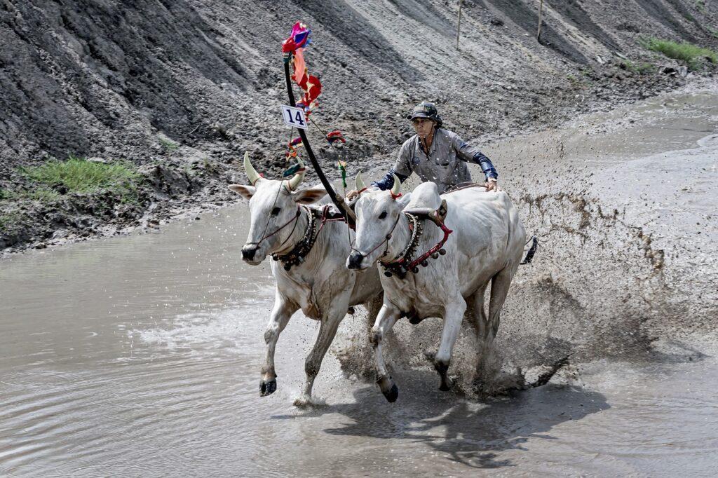 Wyścig byków w Kambodży